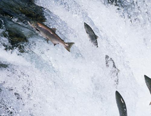 Salmon Shortage & Fish Oil Supply