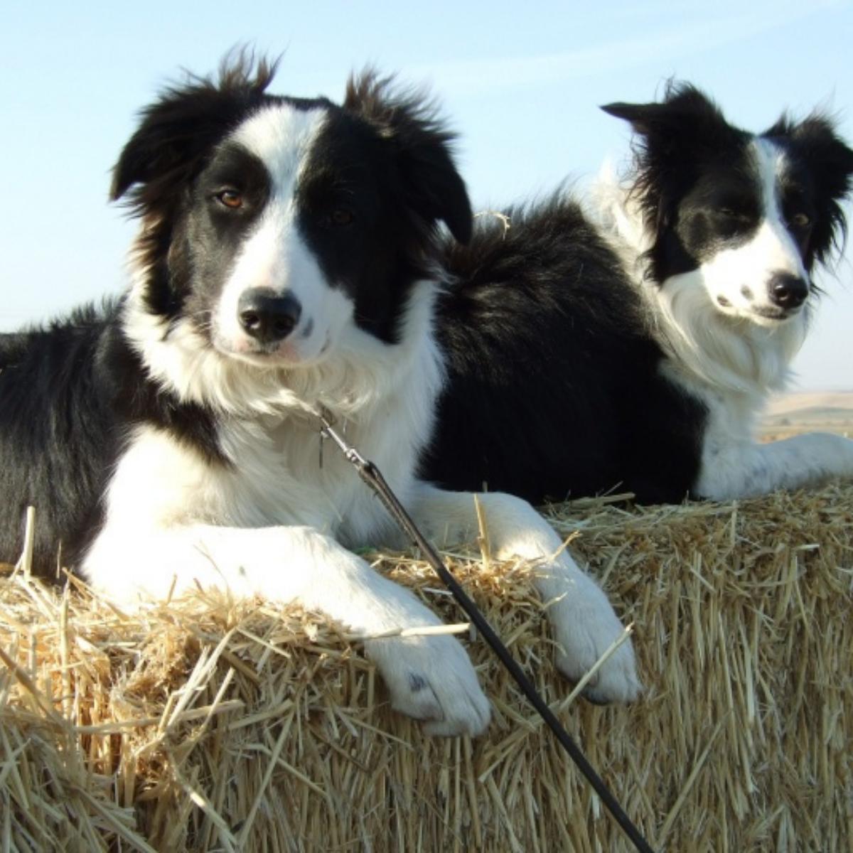 blog post sheep dog photo